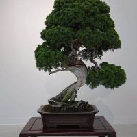 bonsai-roubado