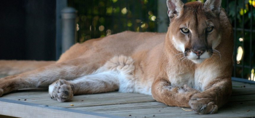 cougar-1086045-1920
